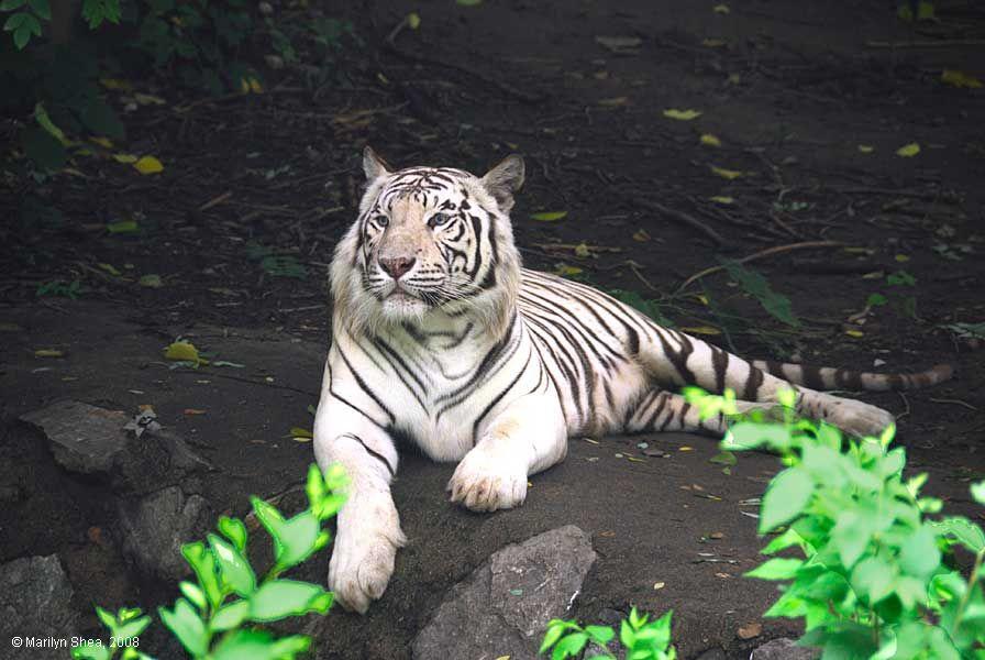 Beijing_Zoo_Bengal_tiger_9577w